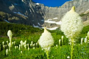 Beargrass in Scenic Alpine Meadow Glacier National Park Montana. Lush meadow at height of summer in mountain environment. Captured as a 12-bit Raw file. Edited in ProPhoto RGB color space.